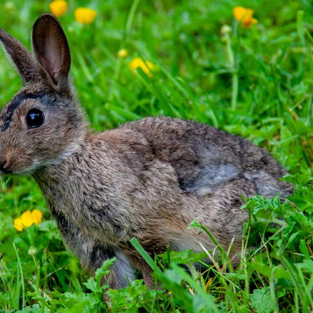 """Rabbit Sat in Meadow."" stock image"