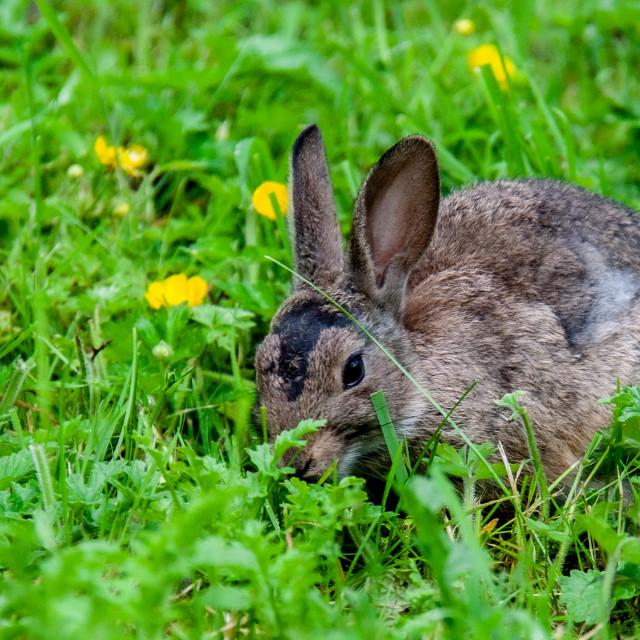 """""""Rabbit, grazing"""" stock image"""