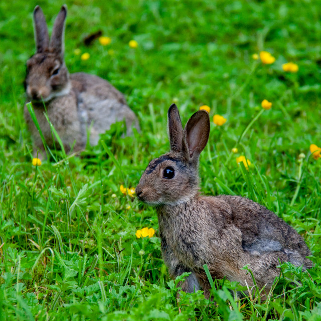 """""""Rabbits Sat in Meadow."""" stock image"""