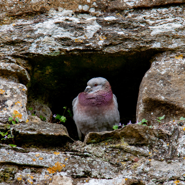 """""""Pigeon Roosting at Fountains Abbey"""" stock image"""