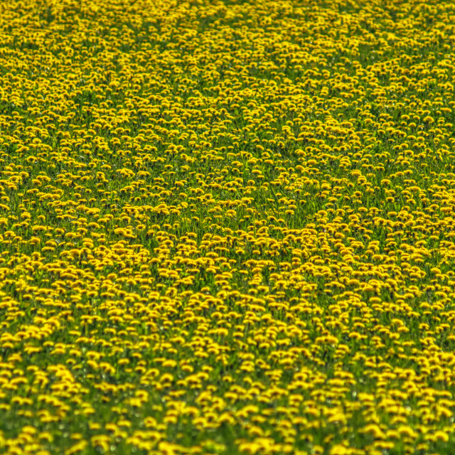 """""""Field of Gold"""" stock image"""