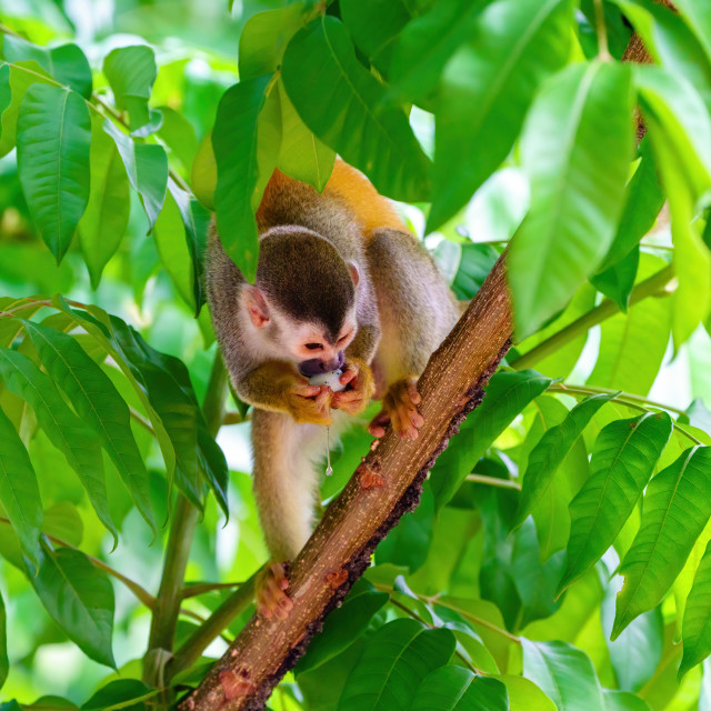 """Common Squirrel Monkey (Saimiri sciureus) eating an egg pulled from a nest,..."" stock image"