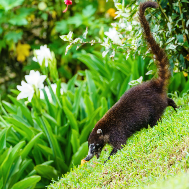 """Ring-Tailed Coati (Nasua nasua rufa) walking down a steep incline, taken in..."" stock image"