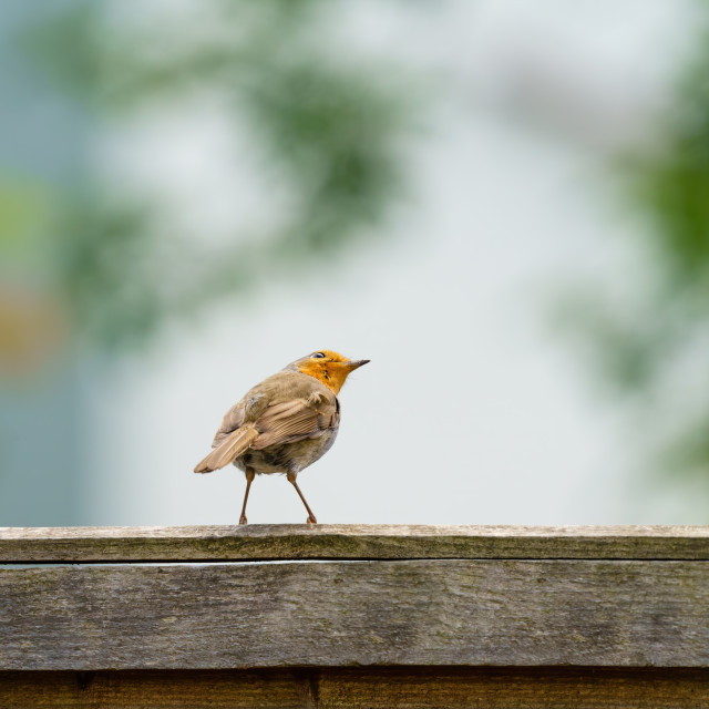 """European Robin (Erithacus rubecula) perched on a fence looking up, taken in..."" stock image"