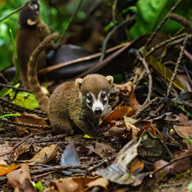 """Baby Ring-Tailed Coati (Nasua nasua rufa) looking at camera with innocent..."" stock image"