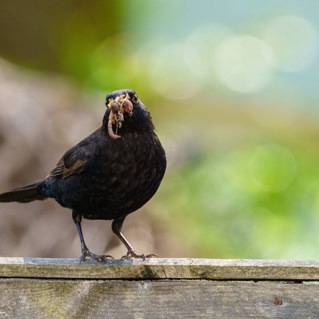 """""""Blackbird (Turdus merula) male with beak full of worms perched on a fence,..."""" stock image"""