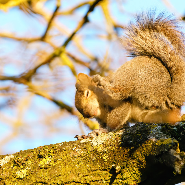 """Gray Squirrel (Sciurus carolinensis) having a scratch in golden morning..."" stock image"