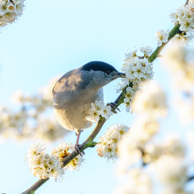 """""""Blackcap (Sylvia atricapilla) male feeding on blossoms on a tree in spring,..."""" stock image"""