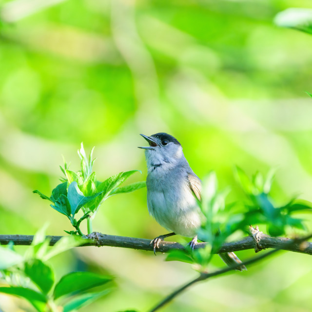"""""""Blackcap (Sylvia atricapilla) male singing on a bright spring morning in London"""" stock image"""
