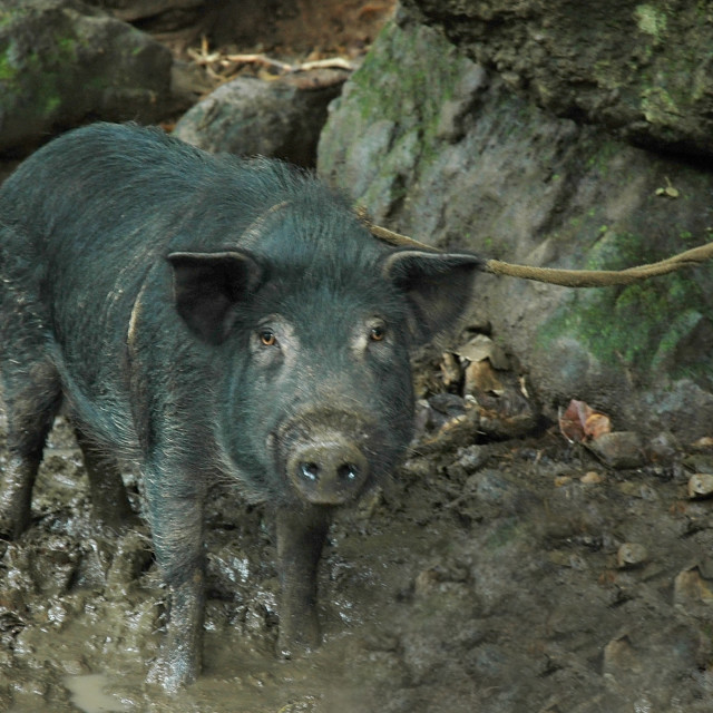 """""""St Lucia Pig"""" stock image"""