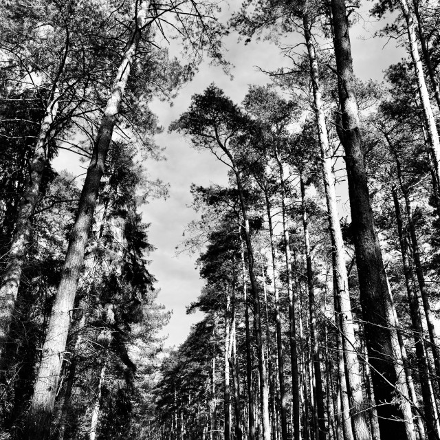 """""""The Tall Trees"""" stock image"""