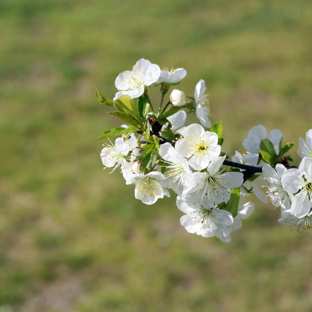 """Spring flowers from the fruit orchard on a warm day"" stock image"