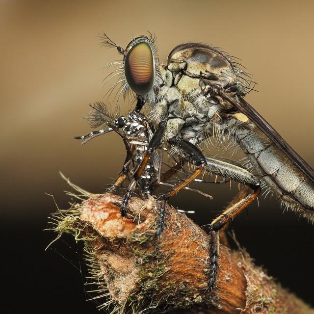 """""""Borneo Robberfly 03"""" stock image"""