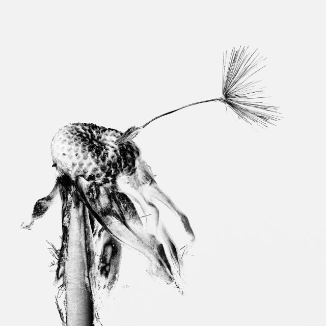 """Mono Dandelion"" stock image"