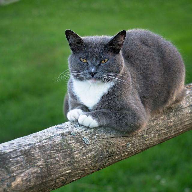 """Monhegan Coon Cat"" stock image"