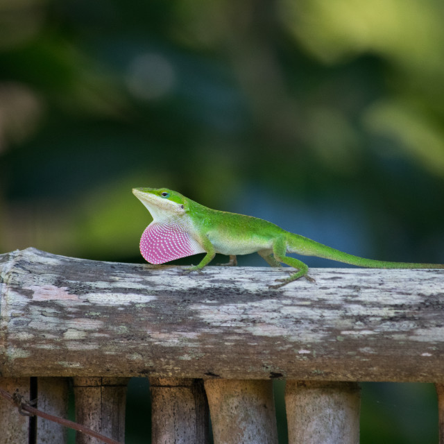 """Green Lizard"" stock image"