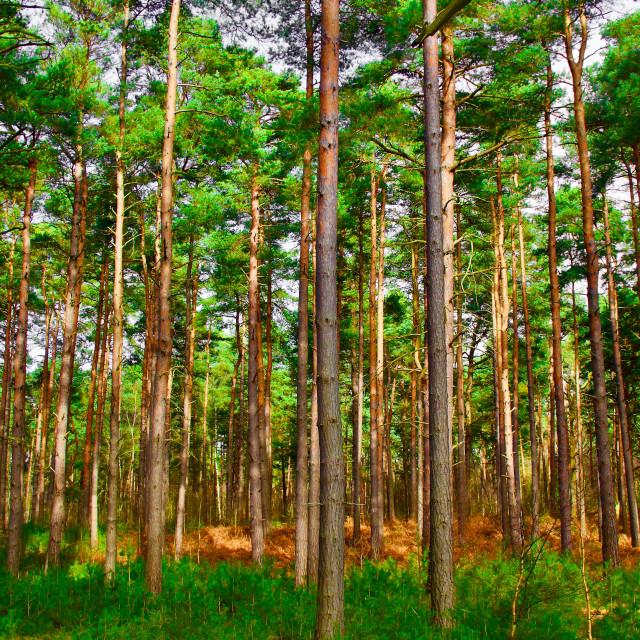 """Tall Slender Trees"" stock image"