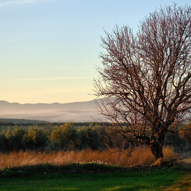 """""""Lonely bare tree and agricultural fields during sunset, Granada,"""" stock image"""