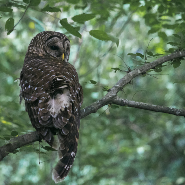 """Barred Owl"" stock image"