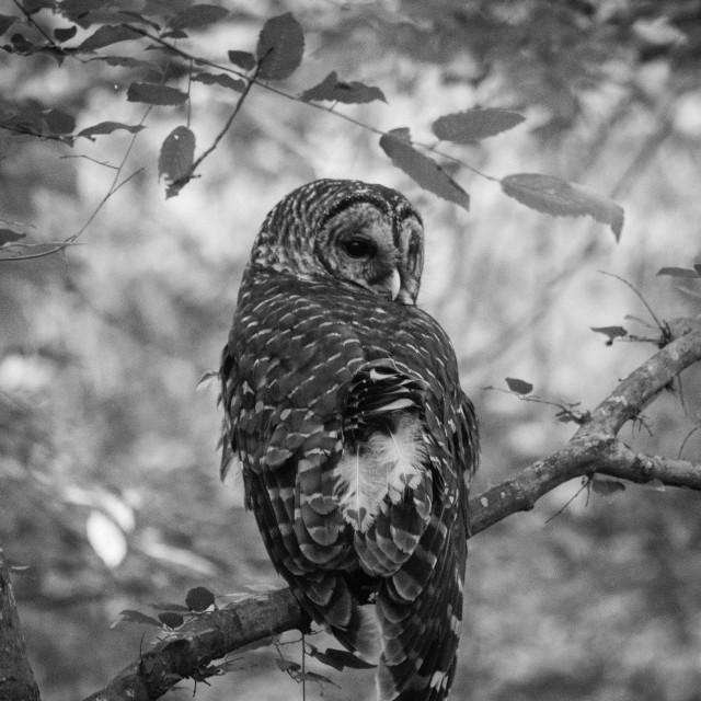 """Barred Owl B&W"" stock image"