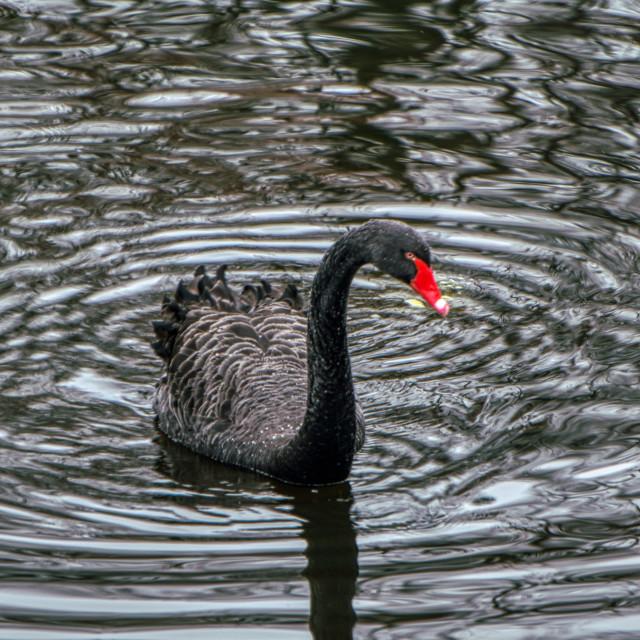 """The black swan"" stock image"