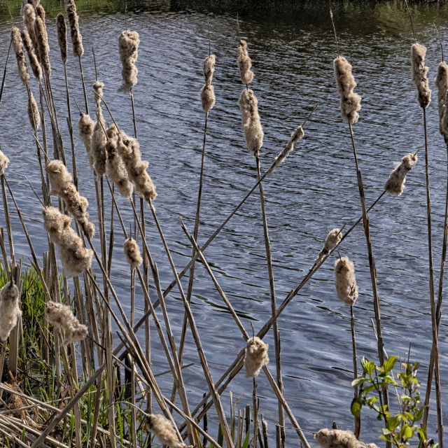 """""""Cattails near the river"""" stock image"""