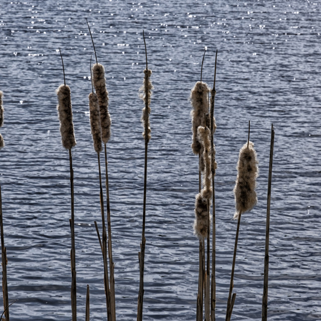 """""""Cattails beside river"""" stock image"""