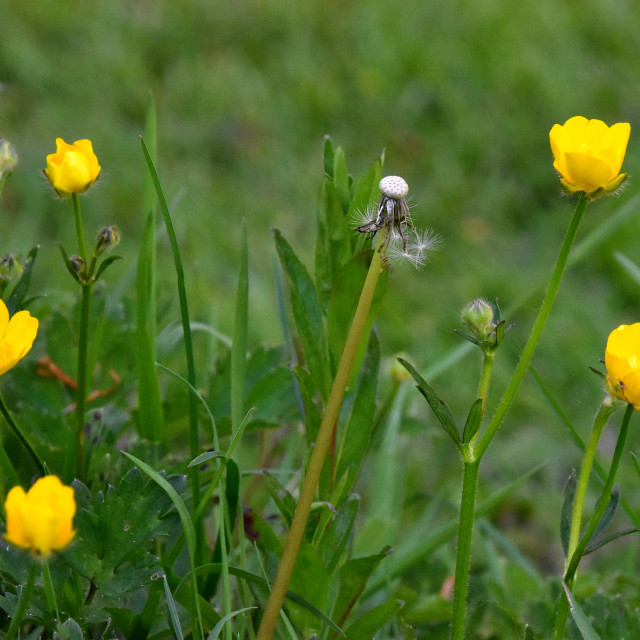 """""""Buttercups in our Garden"""" stock image"""