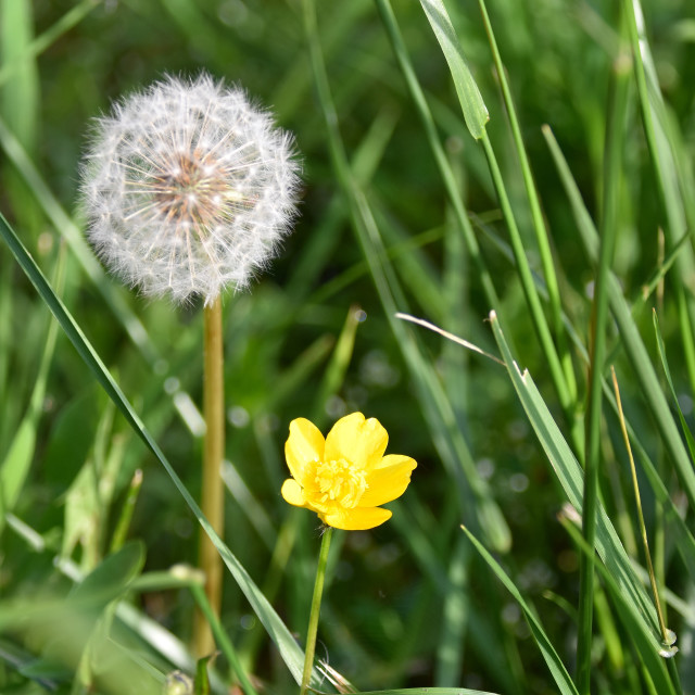 """""""Buttercup and Dandelion"""" stock image"""