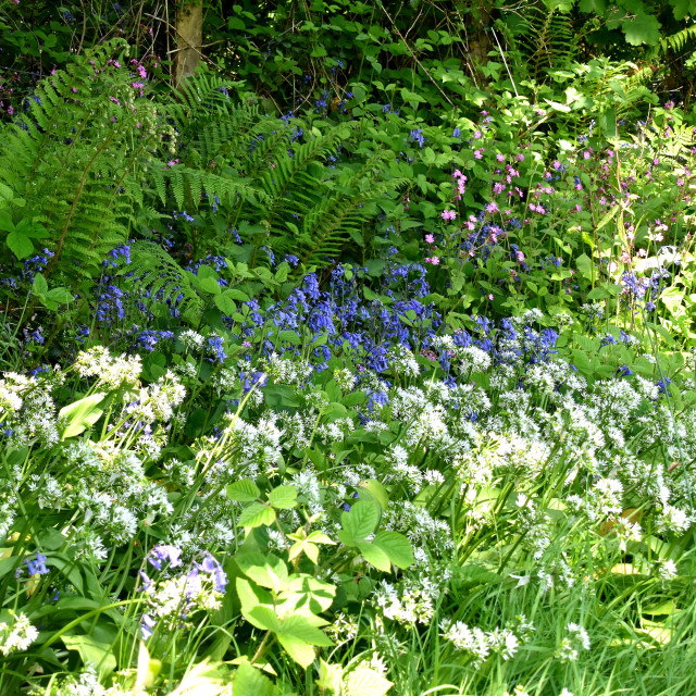 """""""Wild Garlic, Blue Bells and Campion on a sunny morning."""" stock image"""