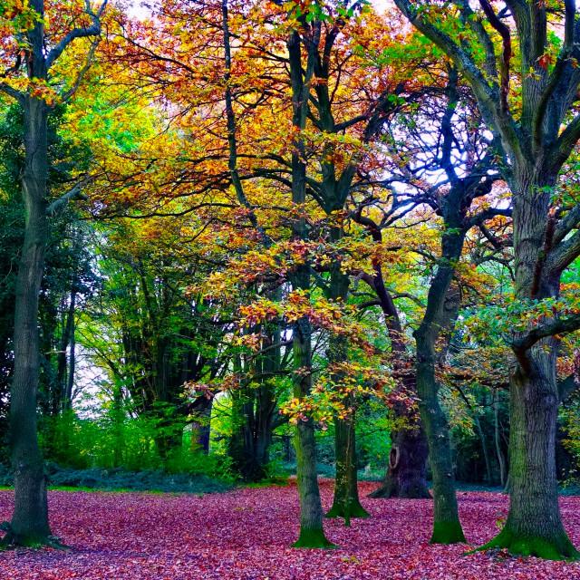 """Autumn Trees, Halliford Park, Surrey"" stock image"
