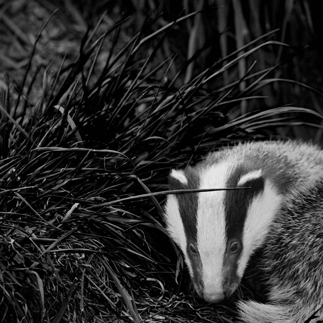 """Badger Cub (2)"" stock image"
