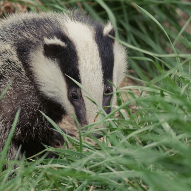 """Badger Cub (3)"" stock image"