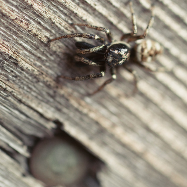 """Zebra Jumping Spider on a wooden door panel"" stock image"