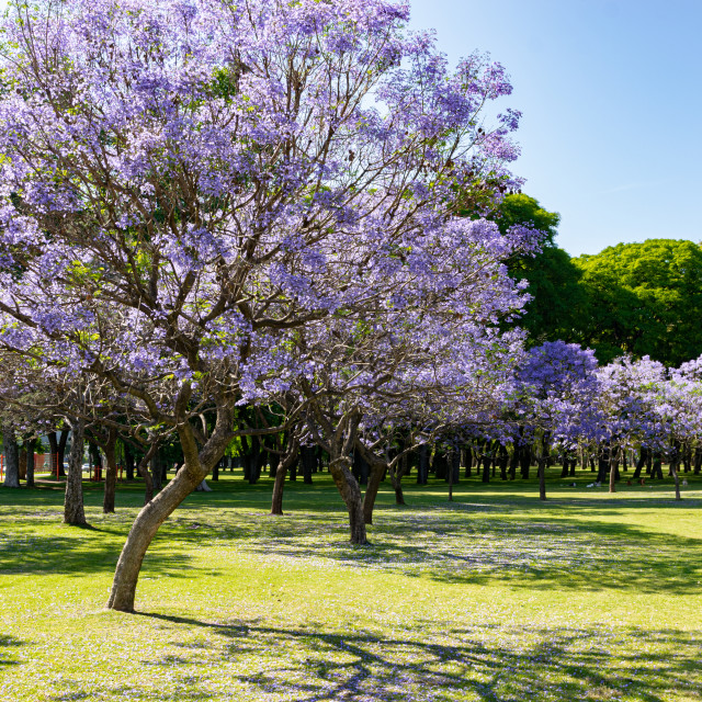 Flowers Of A Jacaranda Tree License Download Or Print For 3 72 Photos Picfair