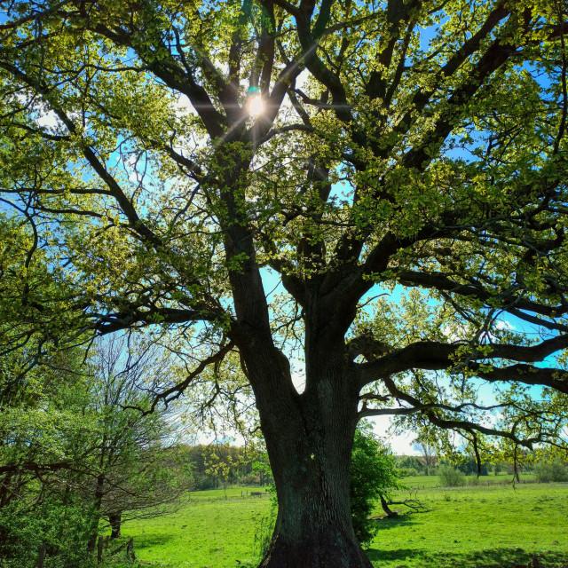 """""""Old oak in Schleswig-Holstein in Germany"""" stock image"""