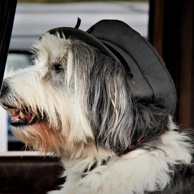 """Old English Sheepdog Wearing a Chauffeurs Cap"" stock image"