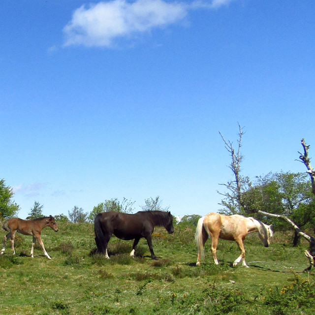 """Wild horses roaming free on Quantocks"" stock image"