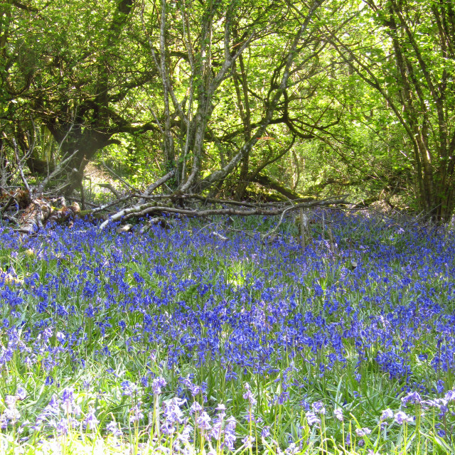 """Bluebells in the Quantocks"" stock image"