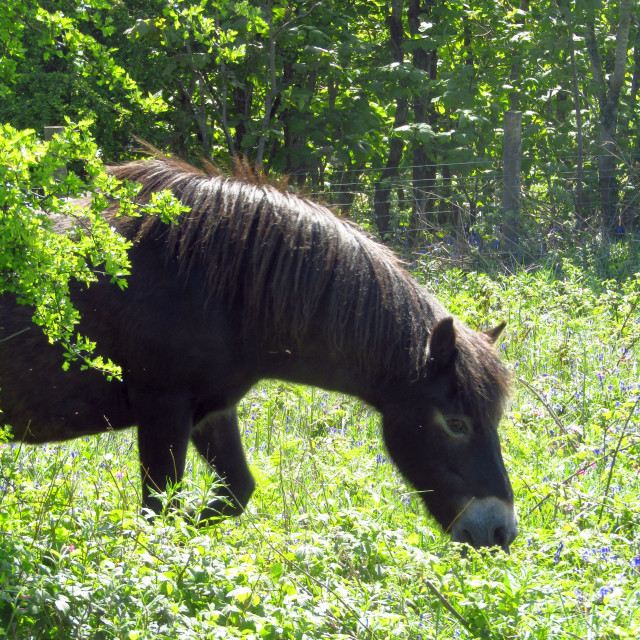 """Wild horse appearing behind bush"" stock image"