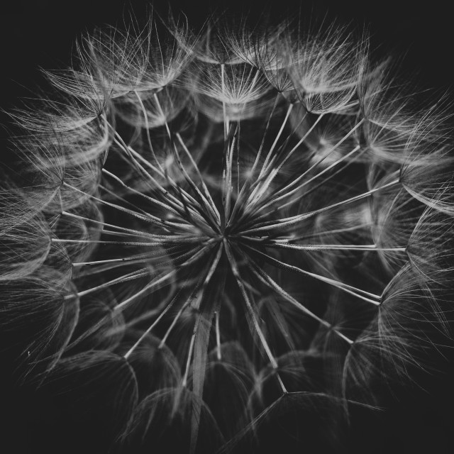 """Dandelion in Bow"" stock image"