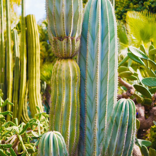 """Cactus in Jardin Majorelle"" stock image"