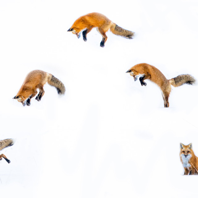 """Red Fox - Mousing Cycle"" stock image"