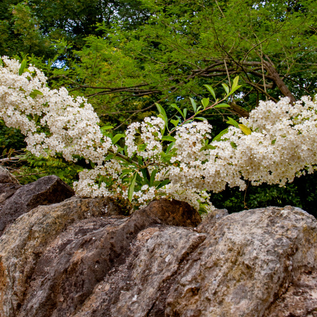 """Firethorn Pyracantha in Masses of White Flower"" stock image"