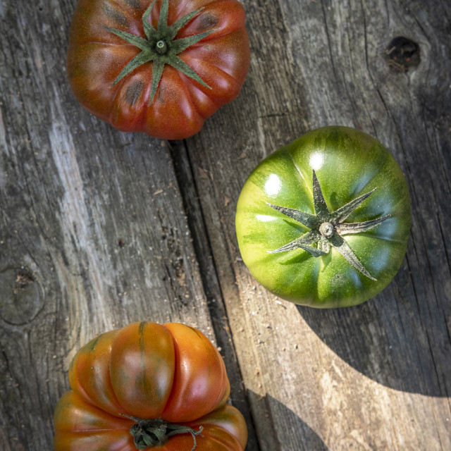 """Harvest of an ecological urban tomato garden for production of k"" stock image"