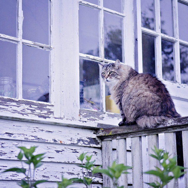 """Monhegan Coon Cat"" stock image"