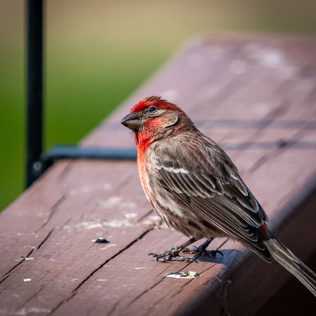 """""""House Finch"""" stock image"""
