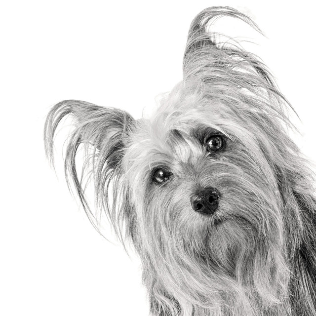 """Silky Terrier On White"" stock image"
