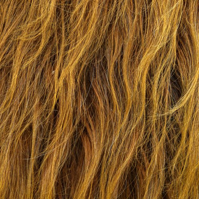 """""""Scottish Highland Cow Hair Background"""" stock image"""