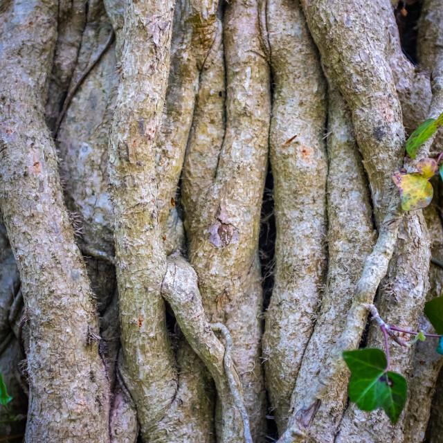 """Twisted Tree Vines Background"" stock image"